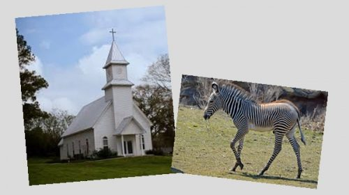 Sex offenders on Halloween are like zebras at church